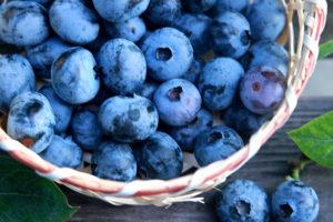 ブルーベリーの収穫時期と収穫方法は?