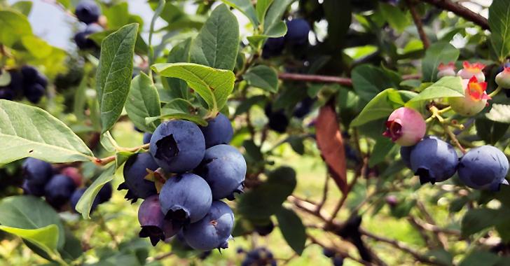 ブルーベリーの収穫時期