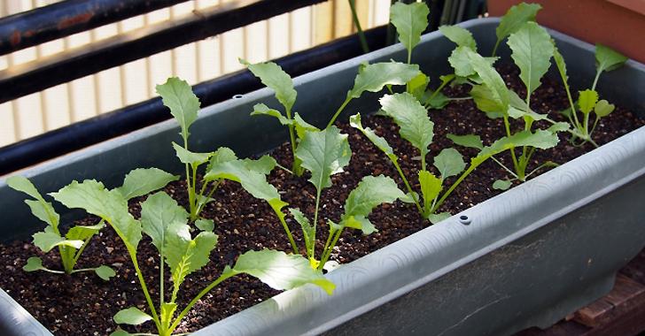プランター栽培の小カブ