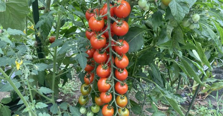 ミニトマト(プチトマト)収穫時期の見極め方は?
