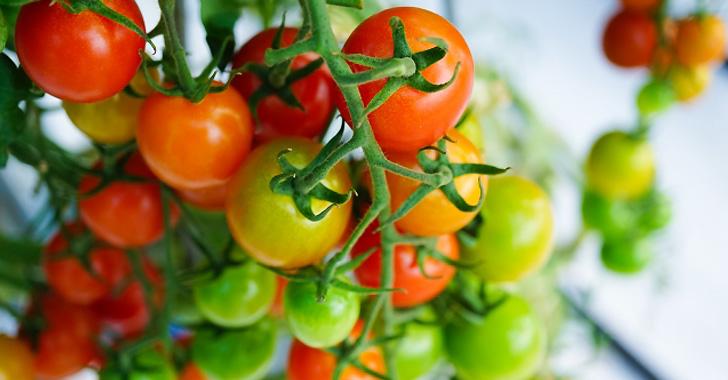 熟れたミニトマトと熟れていないミニトマト