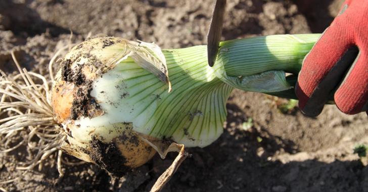 玉ねぎの収穫方法
