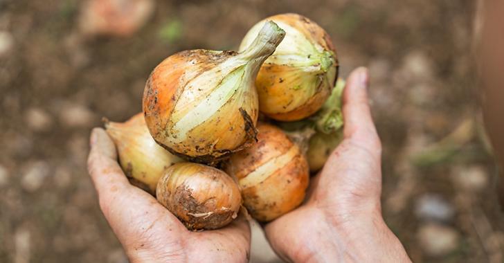 玉ねぎ収穫時期の見極め方は?