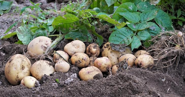 畑のジャガイモを収穫