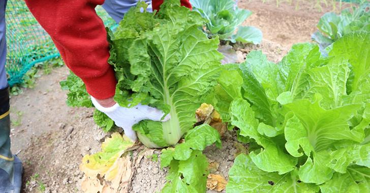 白菜の収穫方法