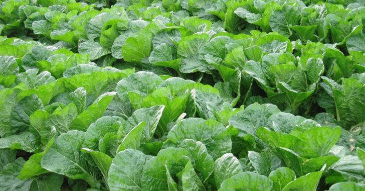 白菜の収穫時期