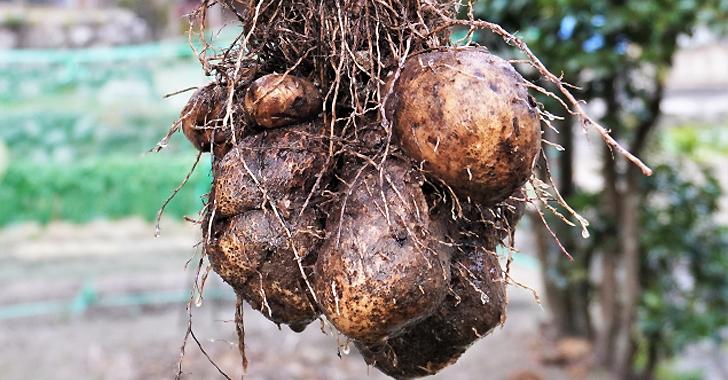 芋の収穫方法