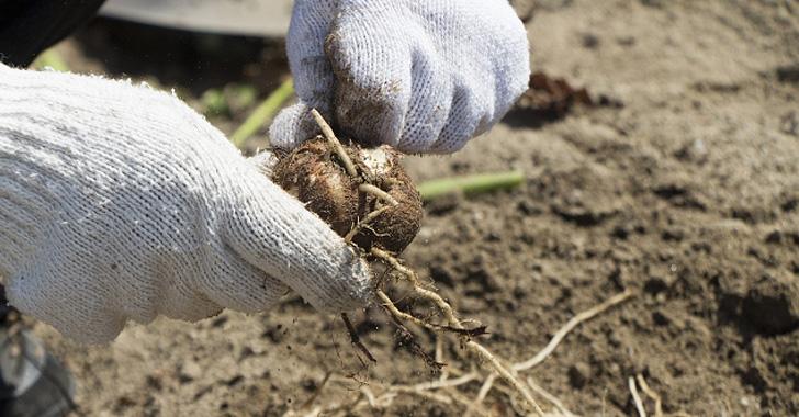 里芋の収穫方法