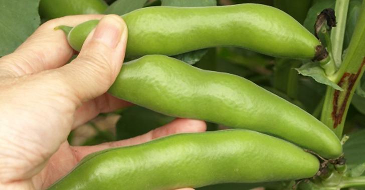 そら豆の収穫方法