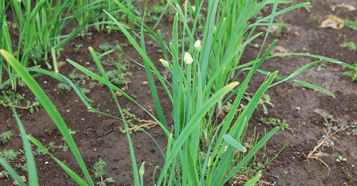 ニラの収穫時期