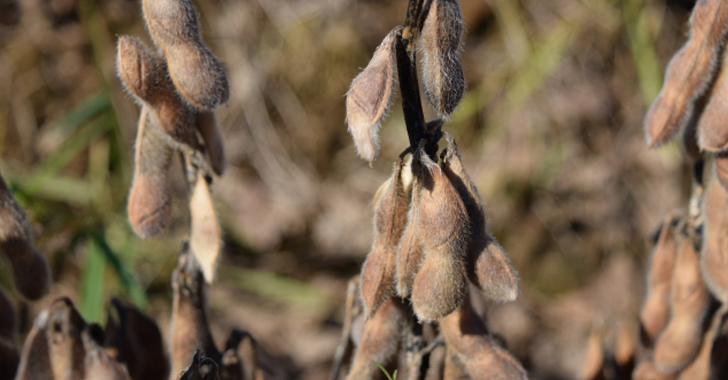 大豆の収穫時期