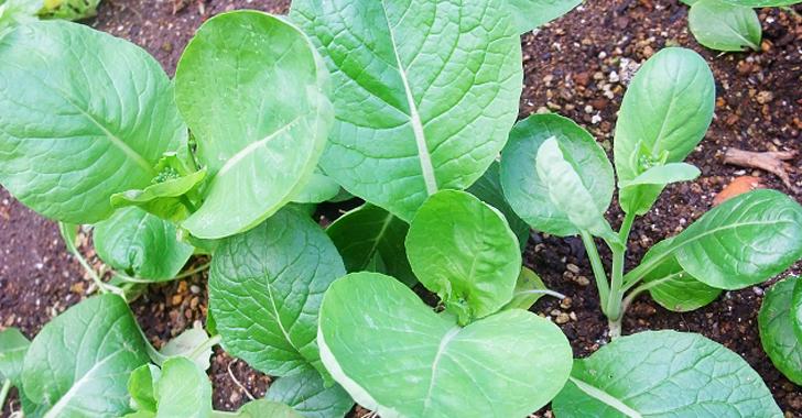 小松菜の収穫について