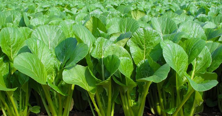小松菜の収穫時期